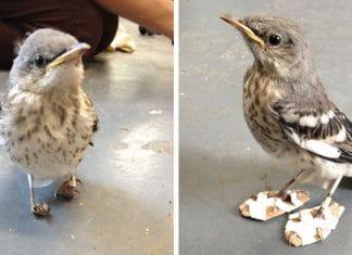 Un petit oiseau blessé reçoit f