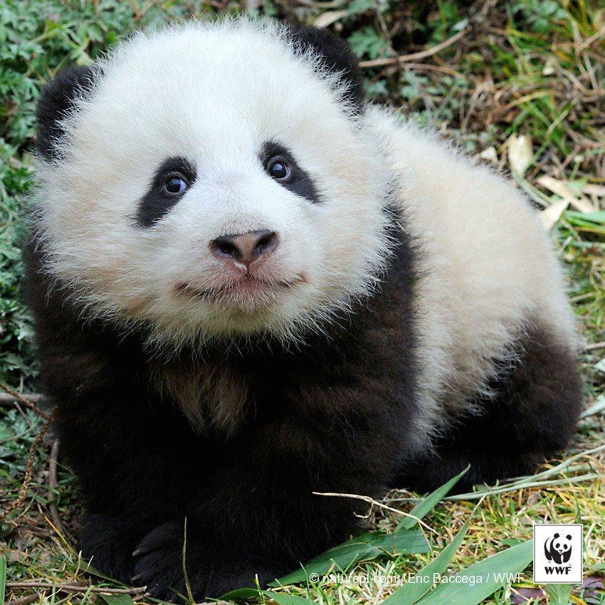 voici une vraie bonne nouvelle les pandas g ants ne sont plus menac s. Black Bedroom Furniture Sets. Home Design Ideas