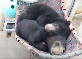 Ces deux oursons ont peut f