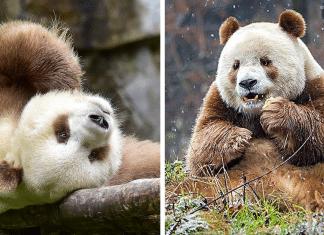 Le seul panda brun au f