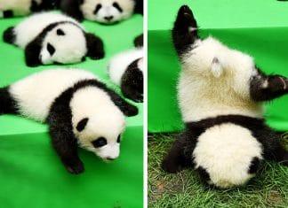 Un bébé panda tombe d'une f