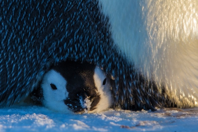 © Paul Nicklen / National Geographic