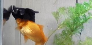 Ce poisson rouge aide son f