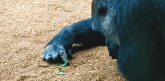 Un gorille remarque un minuscule f