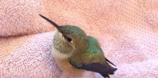 Un colibri rescapé attend patiemment f