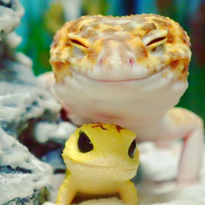 Ce gecko ne peut sempecher 03