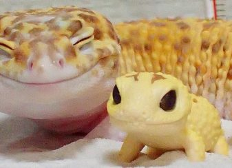 Ce gecko ne peut sempecher f