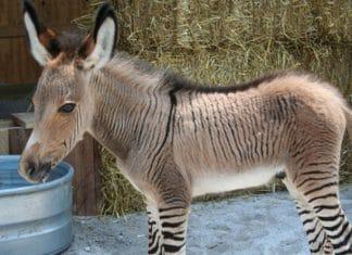 Les animaux hybrides les plus f