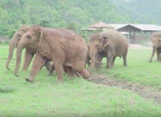 Des elephants courent pour accueillir f