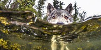 Ces incroyables loups de mer f