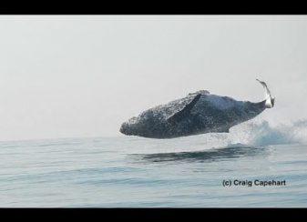 Une baleine de 40 tonnes f