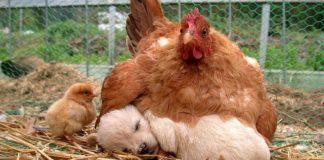18 exemples de poules ayant f