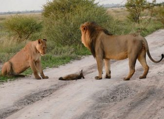 Lorsquune famille lion a attrape f