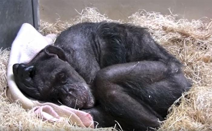 Une chimpanzee de 59 ans 01