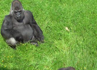 Ce que ce petit gorille f