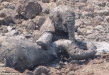 Un elephanteau et sa mere f