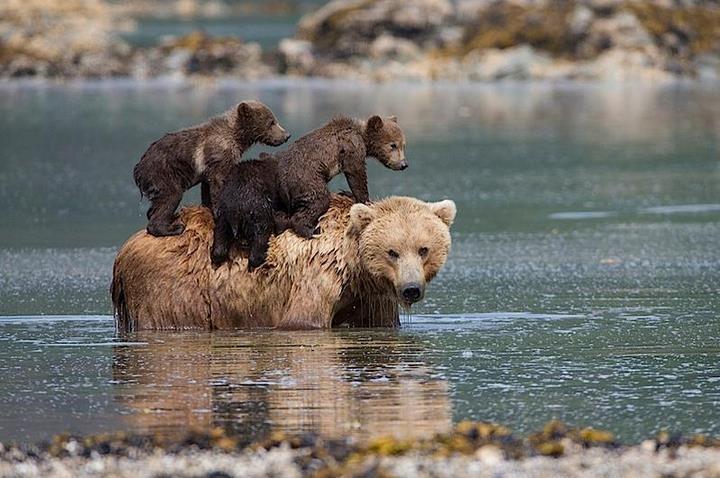 Une mere ourse se tourne 01