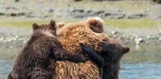 Une mere ourse se tourne f